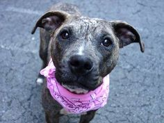 Manhattan Center   SMOOCH - A0997593  *** NOT IN THE SHELTER/IN AN ACC FOSTER HOME ***  FEMALE, BR BRINDLE, PIT BULL MIX, 8 mos STRAY - STRAY WAIT, NO HOLD Reason STRAY  Intake condition ILLNESS Intake Date 04/23/2014, From NY 10029, DueOut Date 04/26/2014, Medical Behavior Evaluation GREEN https://www.facebook.com/photo.php?fbid=793336040679277&set=a.617938651552351.1073741868.152876678058553&type=3&theater