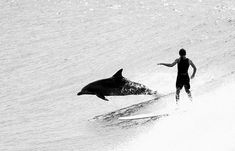Dolphin sharing a wave with a (probably quite startled) surfer!