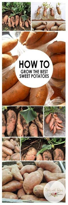 How to Grow Sweet Potatoes. Growing Vegetables in Pots. How to Grow Vegetables in Pots. How to Grow Sweet Potatoes in Containers. Vegetable Gardening Tips. Growing Vegetables In Pots, Container Vegetables, Growing Tomatoes, Growing Plants, Fruits And Veggies, Grow Potatoes In Container, Planting Vegetables, Potato Gardening, Organic Gardening