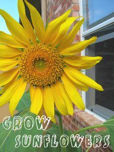 Grow Sunflowers with Kids