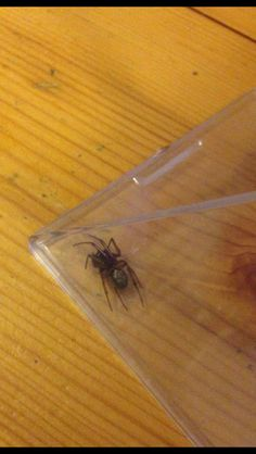 Wednesday 22nd June 2016: found this beast on my pillow and nearly gave myself a heart attack!