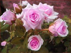 futó rózsa Pink
