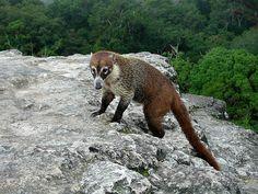 A lemur in Tikal.  DSCN7874