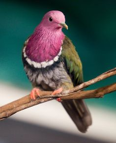 The Pink-Headed Fruit Dove (Ptilinopus porphyreus), also known as pink-necked fruit dove or Temminck's fruit pigeon, is a small, colorful dove endemic to the mountainous regions of Indonesia. Kinds Of Birds, All Birds, Little Birds, Love Birds, Angry Birds, Pretty Birds, Beautiful Birds, Animals Beautiful, Exotic Birds