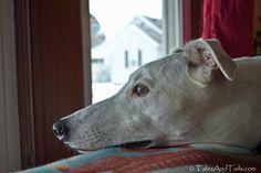 The greyhound gaze....so sublime,so perfect