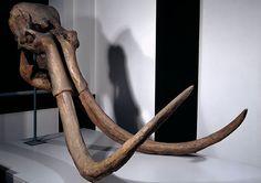 Ilford mammoth skull returns home | Natural History Museum
