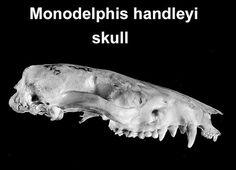 Este crânio é de M. handleyi (não tão robusta quanto M. ronaldi, uma condição intermediária, é uma espécie da floresta amazônica (irmã de M. adusta + as espécies menores, que são originariamente uma expansão ANDINA, isso é BIOGEOGRAFIA ) !  EVOLUÇÃO PEDOMÓRFICA ! Óbviamente !