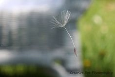 Find more inspiring images at ViewBug - the world's most rewarding photo community. Photo Contest, Dandelion, Fine Art, Flowers, Plants, Image, Pageant Photography, Dandelions, Flora