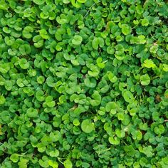 Dichondra repens for in between paving under the London Plane Tree Bush Garden, Ferns Garden, Shade Garden, Gravel Garden, Garden Beds, Ground Cover Seeds, Ground Cover Plants, Outdoor Landscaping, Outdoor Plants