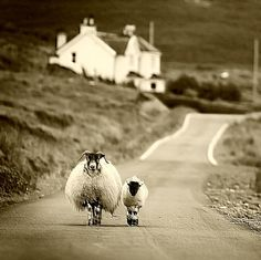 sheep walking in Highlands, Scotland
