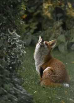 Fox 3927 by Peter Warne-Epping Forest on Flickr