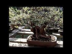 Bonsai in Nanjing, China Part 2 Nanjing, Bonsai Garden, China, Videos, Image, Porcelain