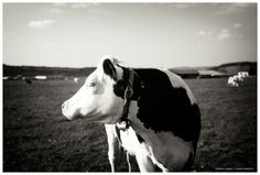#photographie #pontarlier #vache #cow #nature