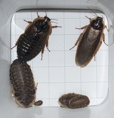 Dubia roaches are a popular feeder bug – In my opinion, one of the best. They have an excellent nutritional value for your insectivore friends, breed easily, are easy to maintain… Just … Red Eyed Crocodile Skink, Dubia Roaches, Bearded Dragon Food, Meal Worms, Edible Insects, Reptile House, Reptile Supplies, Pet Dragon, Reptiles And Amphibians