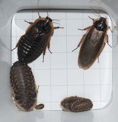 Raising Dubia Roaches | Fishmobaby Whirlamagig