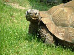 Galapagos Tortoise at the Akron Zoo