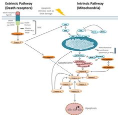 The extrinsic & intrinsic apoptosis pathways play a critical role in removing mutated or damaged cells.