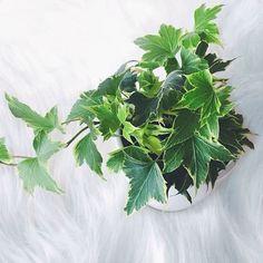 "21 mentions J'aime, 2 commentaires - 🎀Blogueira🎀 (@lena__gomes) sur Instagram: ""A minha nova planta 💚🌱 #tasg #tagsforlikes #instagood #instagram #instalike #plantas#plantasverdes…"""