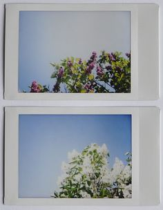 My instax pics / fujifilm instax mini 26 / polaroid  May in Poland / lilac flowers