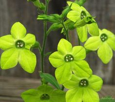 http://loghouseplants.com/plants/wp-content/uploads/2012/02/Nicotiana-alata-Tall-Lime-Green2.jpg