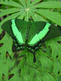 Image of Green Butterfly for fans of Butterflies 9861614 Mean Green, Green Day, Butterfly Pictures, Green Butterfly, Butterfly Dress, Pretty Green, Happy Colors, Color Of Life, Beautiful Butterflies
