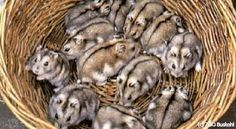 A basket full of dwarf hamsters - I would love this-winter whites