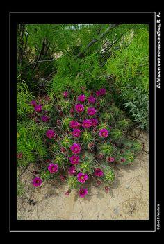 Echinocereus enneacanthus | por Sphenodiscus