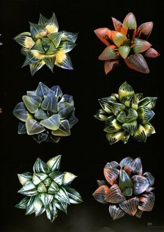 Haworthia is a Succulent and is part of a sub-group with Aloe, Aonea, Crassula, Lithops, Mesembs, etc.