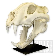 Bengal Tiger Skull with Stand (Bone Clones)