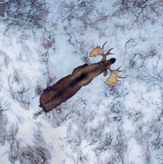 Photo by Bertie Gregory for National Geographic. Bull Moose in Canada Moose Hunting, Bull Moose, Pheasant Hunting, Turkey Hunting, Archery Hunting, Large Animals, Cute Animals, Wild Animals, Animals
