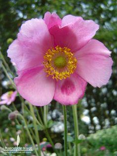 Anemone hybrida Rosenschale