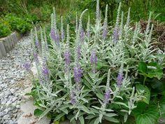 トウテイラン Veronica ornata (別名:洞庭藍・ベロニカオルナータ) 夏緑性 多年草 日本原産 花期: 9-10月頃(紫色) 草丈: 40~50cm 日照: 日なた 近畿地方や中国地方の北部の限られた海岸沿いに自生している。耐寒・耐暑性ともあり、乾燥にもよく耐え、性質は強健で育て易く、年々広がりたくさんの花を咲かせる。