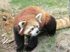 Red panda at the Kushiro city Zoo in Hokkaido, Japan