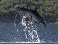 Bottlenose dolphin falls under attack by 'naughty octopus'