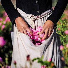 eau de rose centifolia, Grasse - Google Search