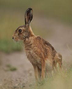 wet sitting Hare by mikejrae, via Flickr