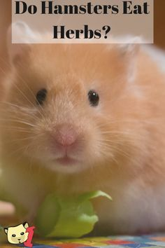 Yes, hamsters can eat some herbs. Not all herbs, and not in large quantities. But they can still eat them.  There are safe and unsafe herbs for hamsters, and we'll look over both lists. Most of these herbs are possibly already in your cupboard (dried and ground up) or maybe in your garden, fresh and green. Bear Hamster, Hamster Food, Hamster Care, Hamster Eating, Hamster Ideas, Hamster Species, Funny Hamsters, Ferrets, Chinchilla Toys