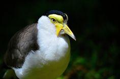 Bird of Fuengirola - Lapwing taken in Fuengirola