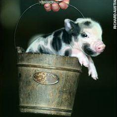 Pennywell Farm Miniature Piglet