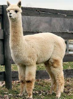 Alpaca: Phylum: cordados Clase: mammalia Subclase: Eutheria Orden: artiodactyla Suborden: pecora Familia camelidae Género: Lama Especie: pacos Nombre científico: Lama pacos Nombre común: Alpaca
