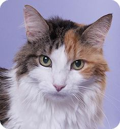 Chicago, IL - Domestic Longhair. Meet Puffball, a cat for adoption. http://www.adoptapet.com/pet/16351880-chicago-illinois-cat
