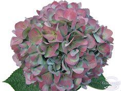 "Cut hydrangea flower ""Pimpernel"" (Red)"