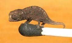 Mini-Chameleon - Brookesia micra