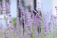 Growing Lavender, Lavender Cottage, Beautiful Pictures, Inspiration, Plants, Lavender, Nice Asses, Biblical Inspiration, Pretty Pictures