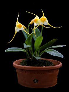 Masdevallia constricta - Plant in bloom - Flickr - Photo Sharing!