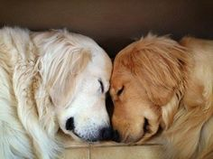 White English Cream Golden Retriever Jack and Ray are brothers.  Jack helps Ray get around since Ray cannot see.