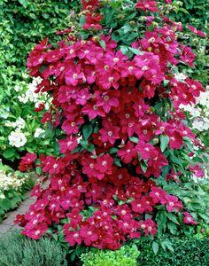 Clematis 'Ernest Markham' • Plants & Flowers • 99Roots.com