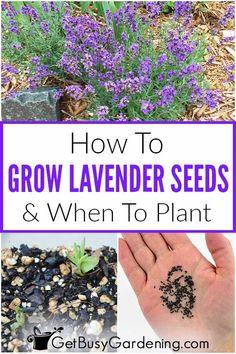 Planting Lavender Seeds, Planting Lavender Outdoors, Lavender Garden, Garden Seeds, Planting Flowers, Planting Seeds Outdoors, Flower Gardening, When To Plant Lavender, Growing Lavender From Seed