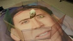 And this guinea pig who lives in a Nicolas CAGE.