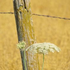 Wire & Queen Anne's Lace